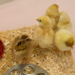 BabyChickDay-4008