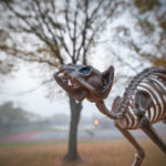 Bones the Skeleton Cat